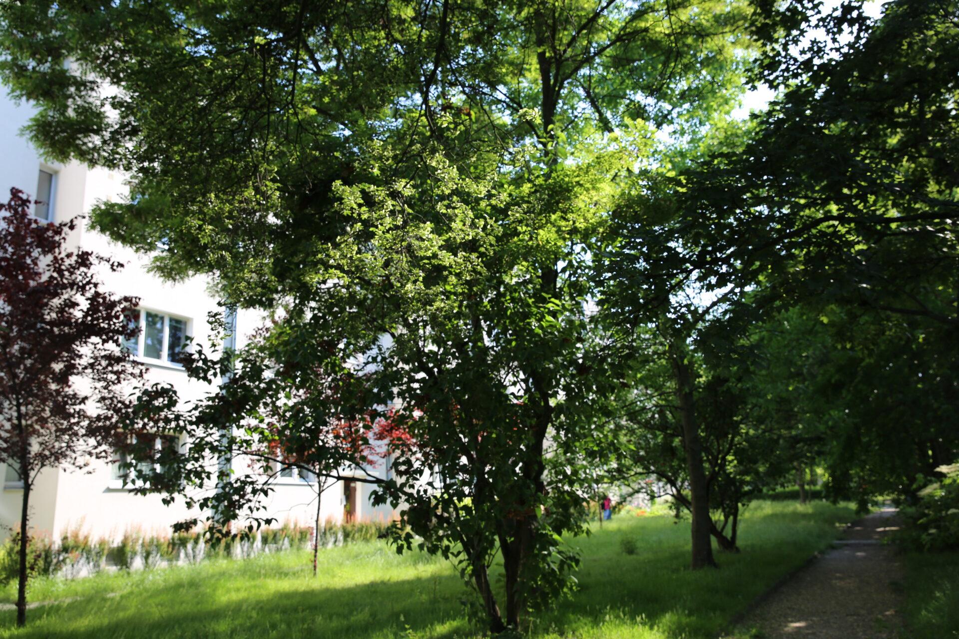 Zdjęcie kolorowe, współczesne. Podwórze nablokowisku. Napierwszym planie zielone drzewa, wtle fragment bloku mieszkalnego.