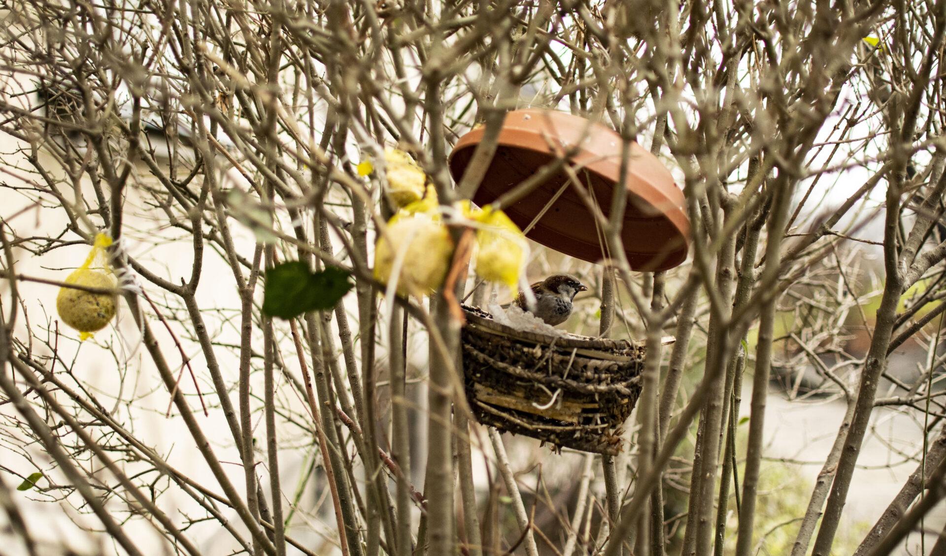 Zdjęcie wróbel wkarmniku ukrytym wkrzakach