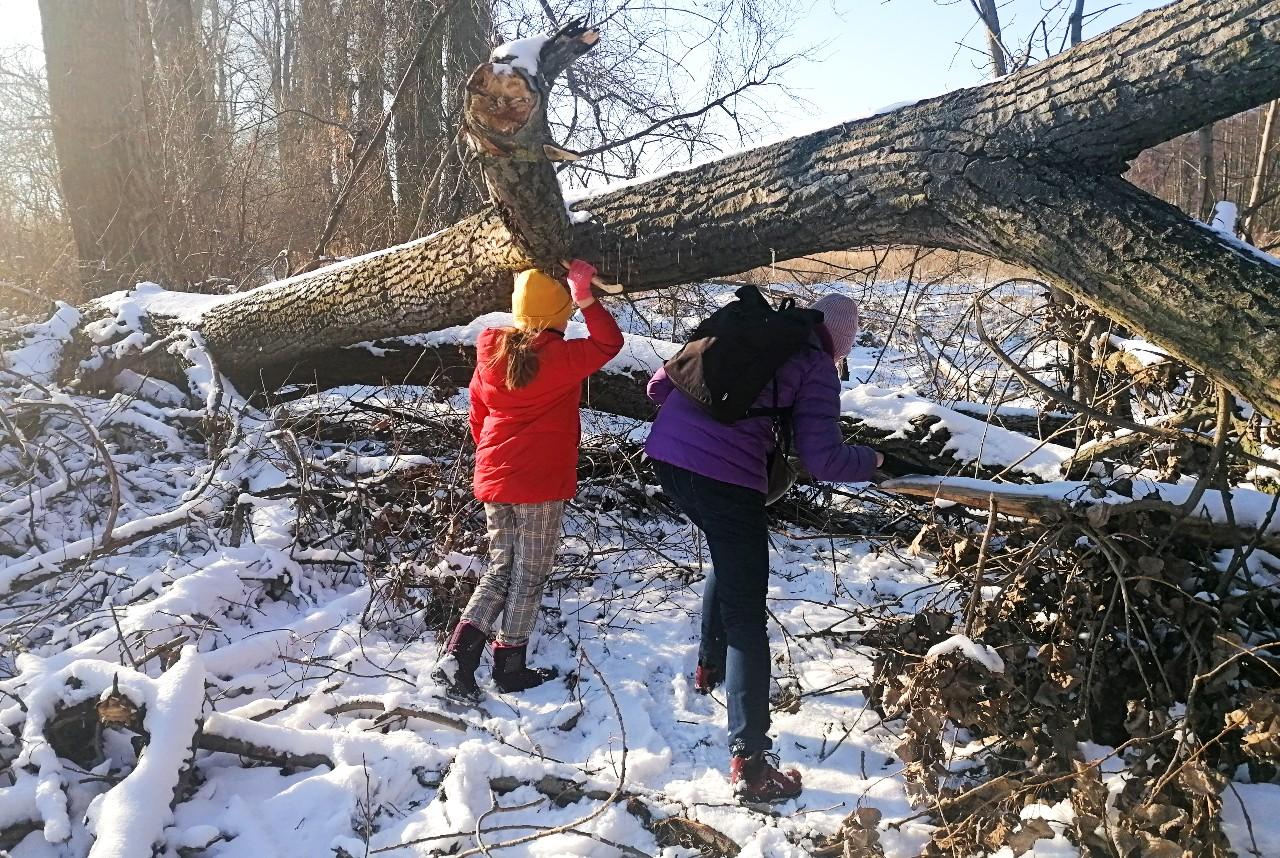 Fotografia zimowy krajobraz. Dwie osoby przechodzą leśną ścieżką podprzewróconymi drzewami