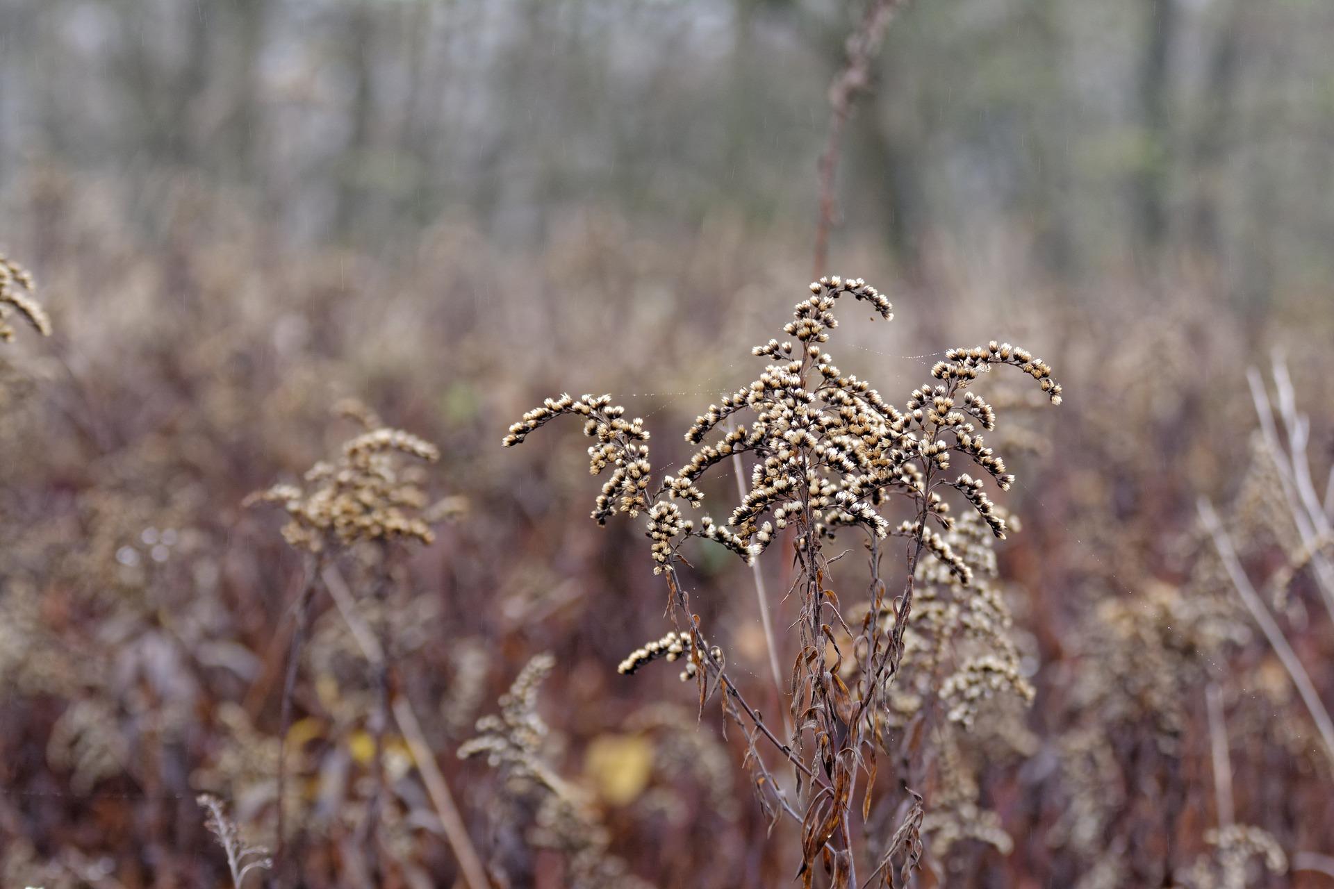 Zdjęcie nawłoć kanadyjska jesienią