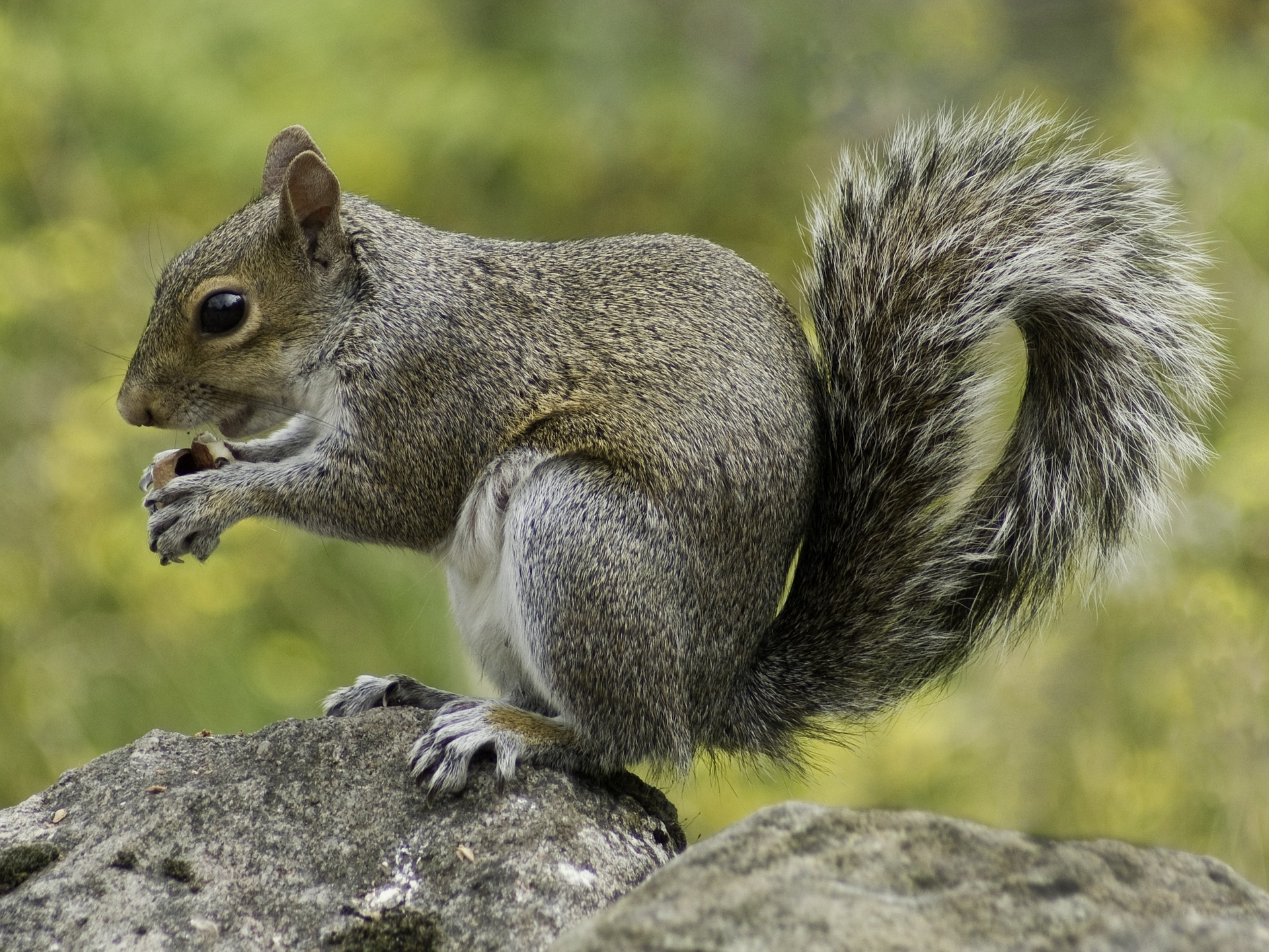 Zdjęcie wiewiórki szarej